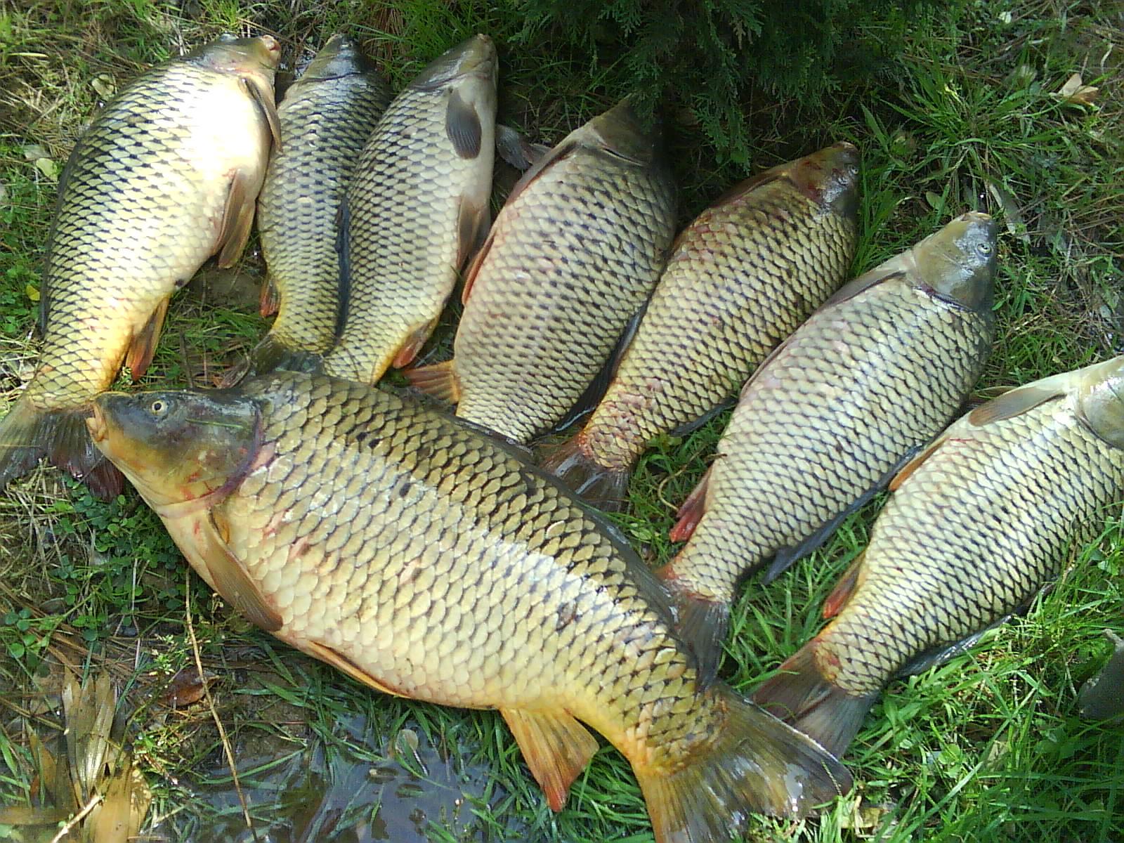 قیمت روز ماهی کپور