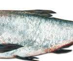 بازار ماهی کپور سرگنزه