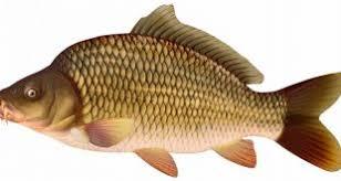 پخش ماهی کپور