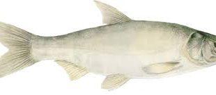عرضه ماهی کپور نقره ای پرورشی