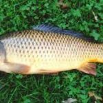ماهی کپور طلایی مرغوب