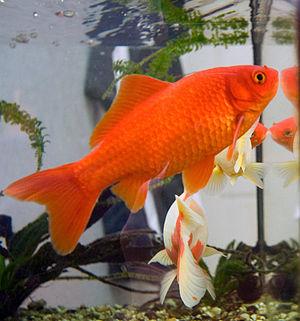 انواع ماهی قرمز
