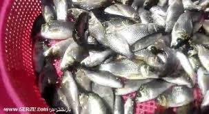 قیمت بچه ماهی کپور