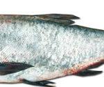 قیمت فروش انواع ماهی کپور