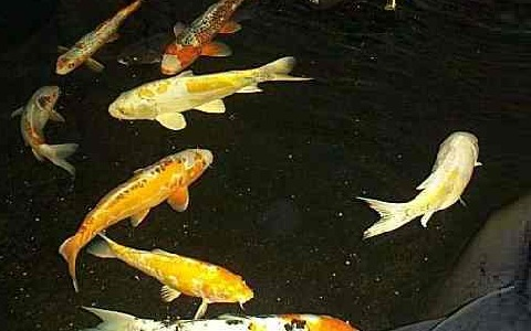 پرورش ماهی کپور گلگون