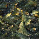 قیمت ماهی کپور پرورشی