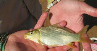 فروش بچه ماهی کپور در مازندران