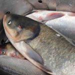 فروش عمده ماهی کپور