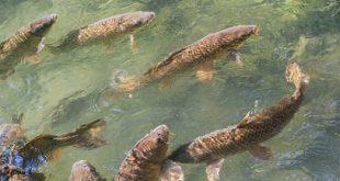 خرید عمده ماهی کپور