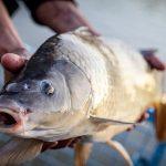 خرید ماهی کپور پرورشی