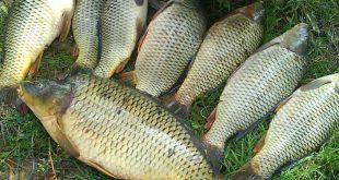 قیمت عمده ماهی کپور