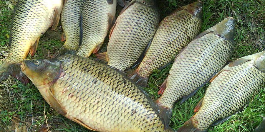انواع ماهی کپور پرورشی