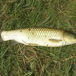 پرورش ماهی کپور