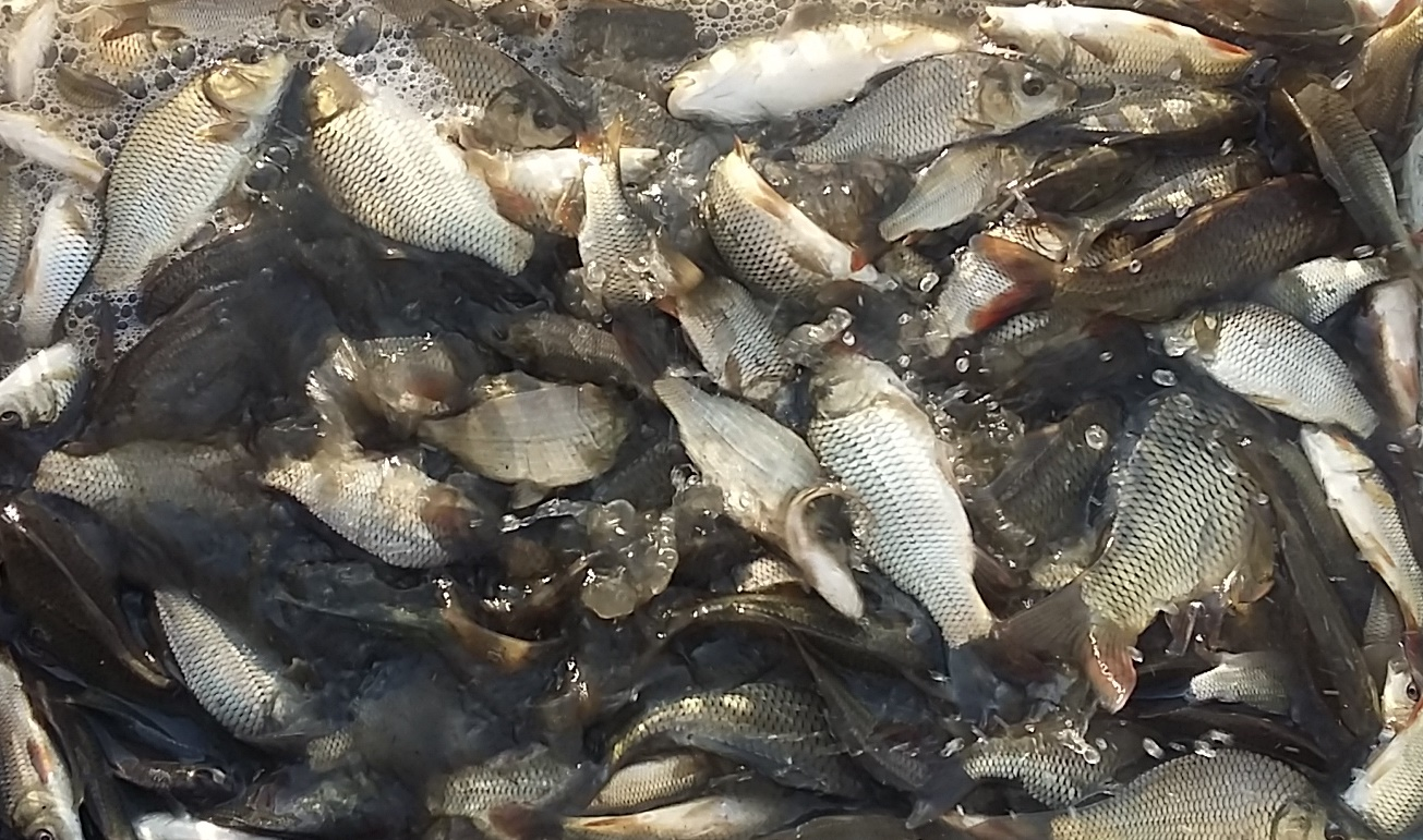فروش بچه ماهی کپور گرمابی