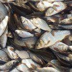 قیمت هر کیلو ماهی کپور