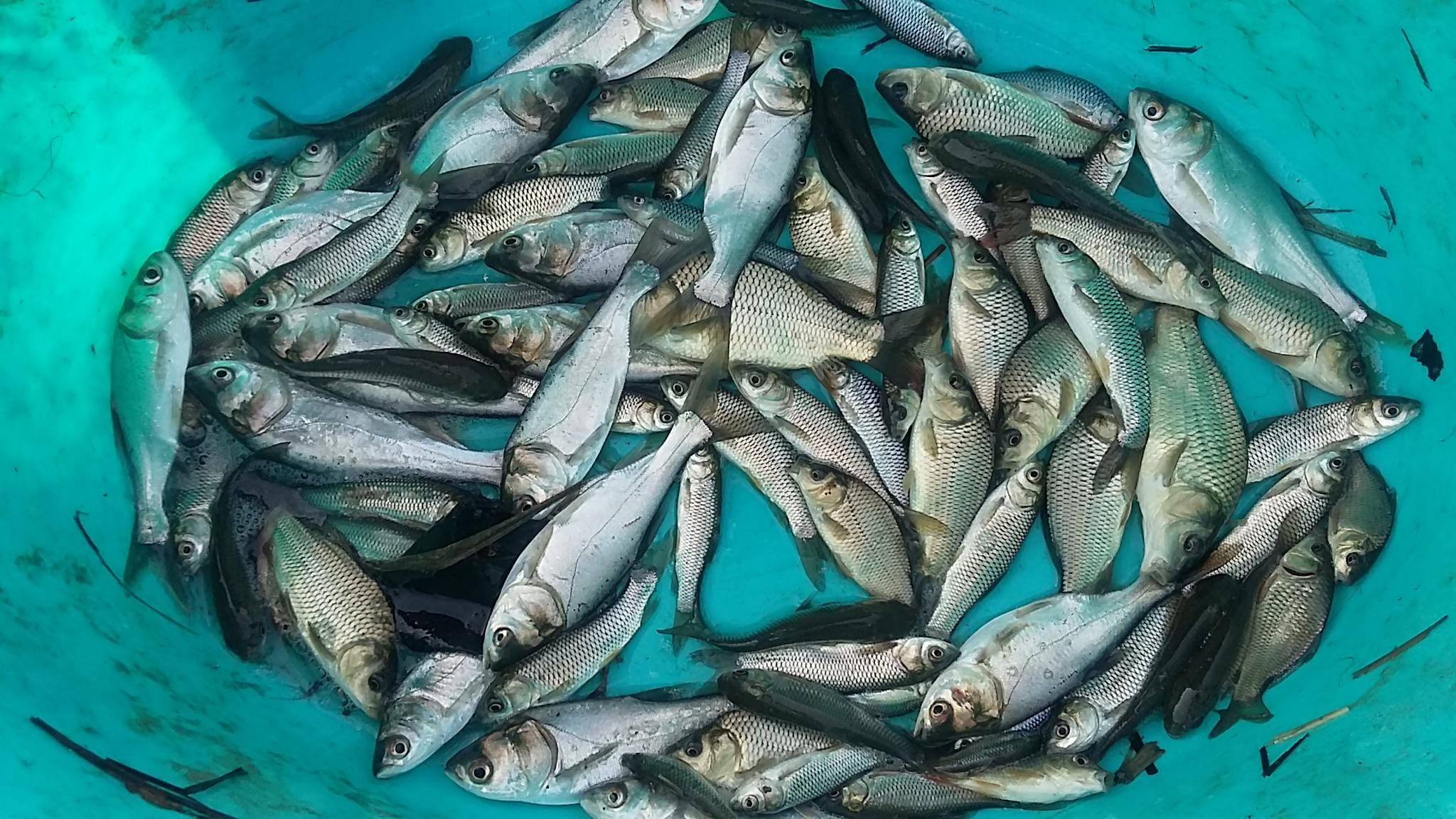 قیمت روز ماهی کپور پرورشی