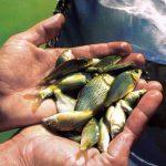 خرید بچه ماهی کپور برای پرورش