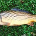 خرید و فروش ماهی کپور پرورشی