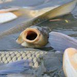 فروش ماهی کپور زنده اصفهان