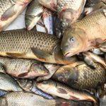 قیمت خرید عمده ماهی کپور