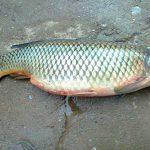 قیمت ماهی کپور دریایی