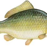قیمت ماهی کپور زنده
