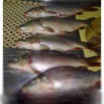قیمت ماهی کپور عمده