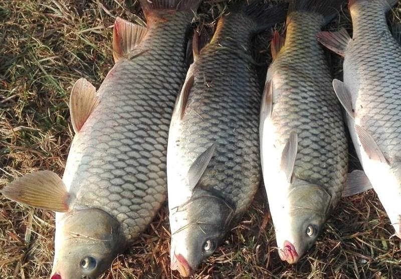 مرکز فروش ماهی کپور