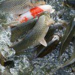 بازار فروش ماهی کپور