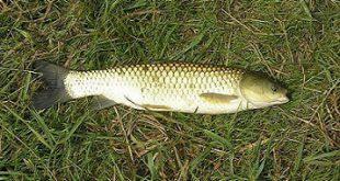 ماهی کپور دریای خزر