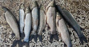قیمت ماهی کپور علفخوار