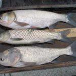 خرید ماهی کپور زنده تهران