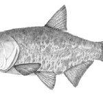 عمده فروشی ماهی کپور