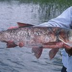 ماهی کپور سرگنده