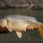 ماهی کپور پرورشی قیمت
