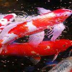 ماهی کپور گلگون
