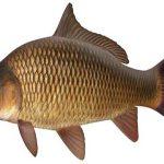 قیمت ماهی کپور