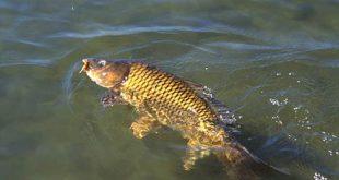 قیمت ماهی کپور طلایی