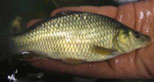 خرید بچه ماهی کپور در اهواز