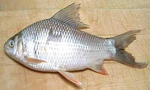 خرید ماهی کپور