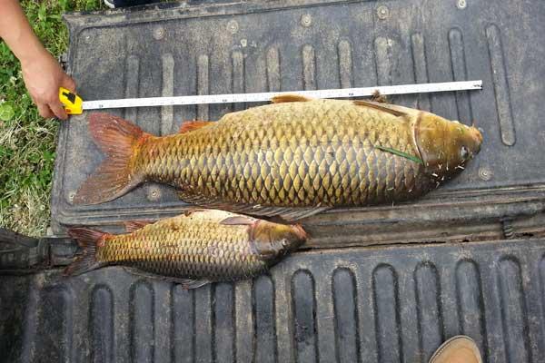 صادرات ماهی کپور