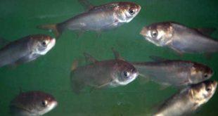 فروش بچه ماهی کپور در مشهد