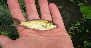 فروش عمده بچه ماهی کپور