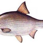 فروش ماهی کپور شمال