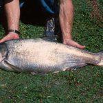 فروش ماهی کپور پرورشی