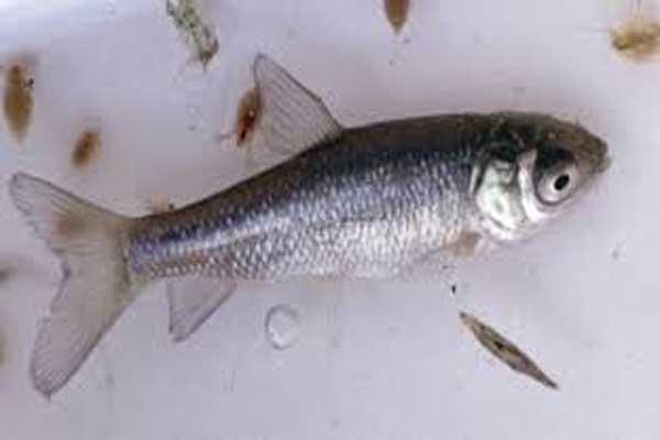 قیمت خرید بچه ماهی کپور