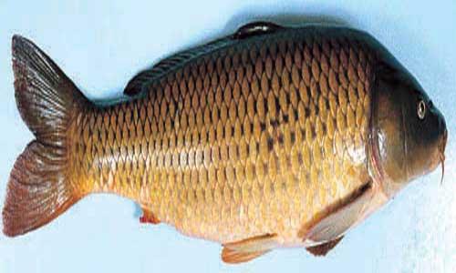 قیمت ماهی کپور آمور