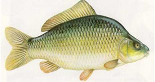 ماهی کپور سبز