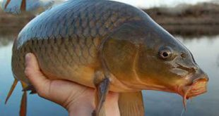 خرید ماهی کپور مولد