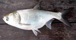 قیمت ماهی کپور نقره ای